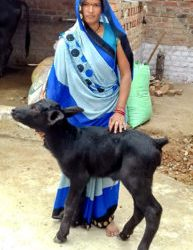Farmer Malti Pateria with the young calf. Photo: BISLD.