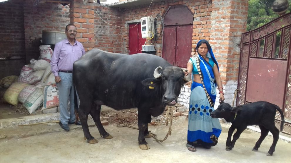 Mrs. Malati Pateria and Mr. A.K. Tripathi, Official of BISLD with buffalo and first female calf © BISLD