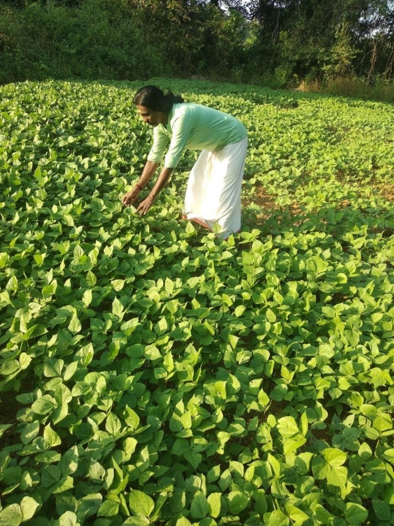 Growing pulses using zero till cultivation in paddy fallows.