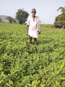 Groundnut ICGV 91114 variety demonstration in Mr Kalki Kondanna's farm in Wanaparthy, Telangana. Photo: BISLD/ICRISAT